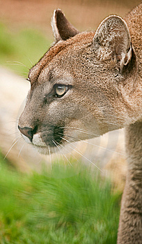 Puma Mountain Lion Cougar Stock Photography - Image: 13604332