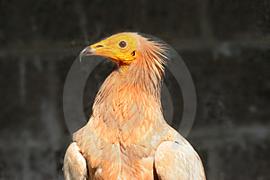 Egyptian Vulture Stock Photography - Image: 13605402