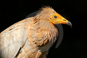 Egyptian Vulture Royalty Free Stock Photography - Image: 13605457