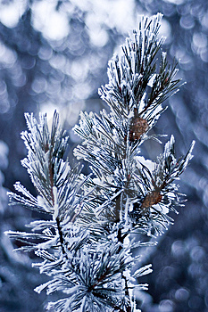 Pine Branch Stock Images - Image: 13605554
