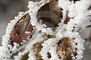 Pictorial Of Frozen Hip-berry Leaves Stock Image - Image: 13606681