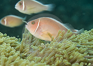 Pink Anemone Fish,(Amphiprion Perideraion) Stock Photo - Image: 13608730