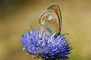 Butterfly Drinking The Nectar Royalty Free Stock Images - Image: 13609389