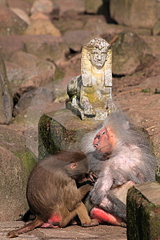 Japanese Macaque Royalty Free Stock Images - Image: 13609569