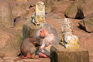 Japanese Macaque Stock Photos - Image: 13609573