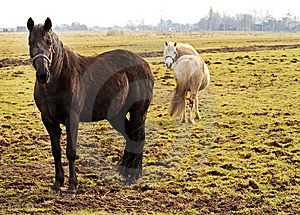 Two Horses Royalty Free Stock Photos - Image: 13610208
