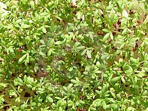 Watercress Stock Photo - Image: 13610670