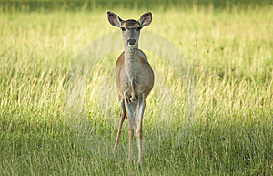 Fawn In Grass Stock Photo - Image: 13611860