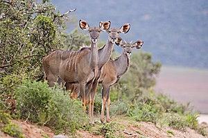 Kudu Trio Royalty Free Stock Photography - Image: 13611867