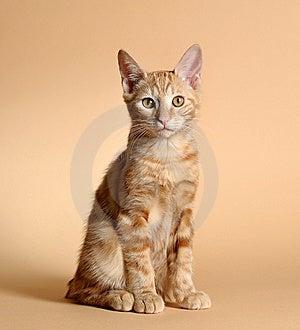 Kitten (breed - Kurilian Bobtail) Stock Photo - Image: 13612170