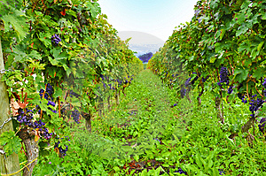 Green Vineyard Royalty Free Stock Image - Image: 13612846