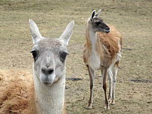 Thoughtful Lama Royalty Free Stock Image - Image: 13614616
