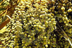 Palm Fruits / Seeds Stock Photos - Image: 13614713