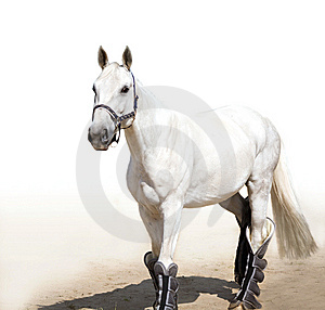 Graceful Light Grey Stallion Royalty Free Stock Images - Image: 13615149