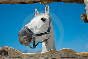 The Head Of Light Grey Horse Royalty Free Stock Images - Image: 13615599