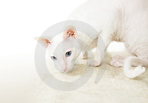 The White Cat Stock Images - Image: 13615764