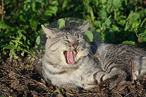 Yawn Cat Royalty Free Stock Images - Image: 13619609