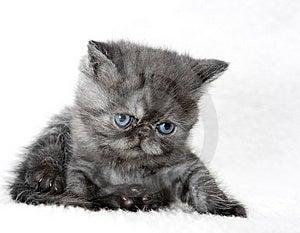 Gray Kitten Royalty Free Stock Photos - Image: 13620738