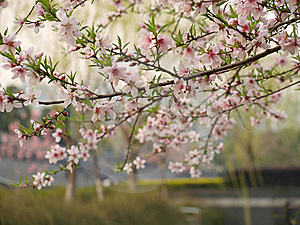 Peach Blossoms Stock Images - Image: 13624024