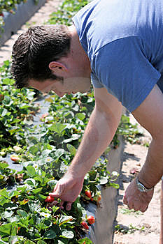 Man Picking Strawberries Royalty Free Stock Photos - Image: 13624358