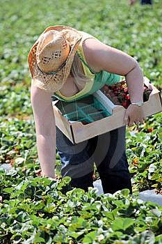 Strawberry Picking Royalty Free Stock Photo - Image: 13624365