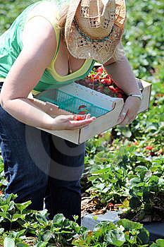 Strawberry Picking Royalty Free Stock Images - Image: 13624369