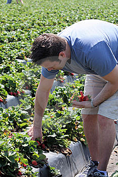 Man Picking Strawberries Stock Photography - Image: 13624382