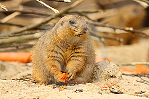 Prairie Dog Holding A Carrot Royalty Free Stock Images - Image: 13625369