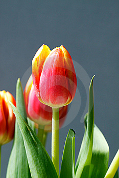 Orange And Yellow Tulips Royalty Free Stock Photography - Image: 13631647