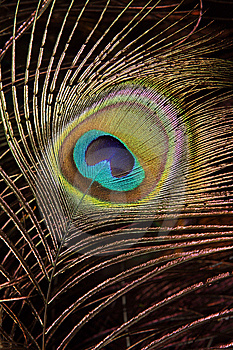 Peacock Feather Royalty Free Stock Photo - Image: 13638125