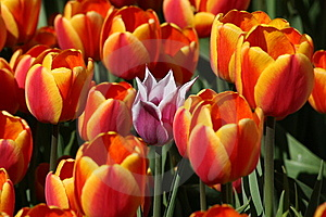 One Pink Tulip Among The Red Tulips Royalty Free Stock Photos - Image: 13640198