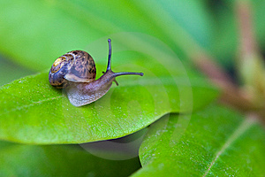 Small Brown Snail On Green Leaf Royalty Free Stock Images - Image: 13644319