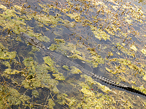 Small Gator In A Swamp Laying Diagonaly 91 90 Stock Photos - Image: 13647463
