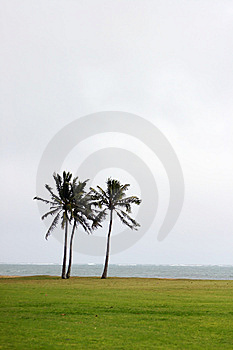 Two Coconuts Trees In Hawaii Stock Images - Image: 13650614