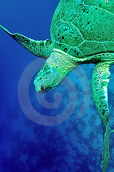 Green Sea Turtle (Chelonia Mydas) Royalty Free Stock Photo - Image: 13651905