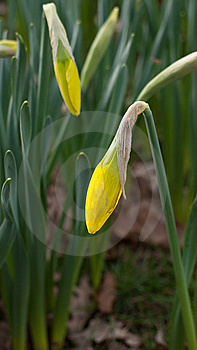 Buds Of Yellow Daffodil Royalty Free Stock Images - Image: 13656299