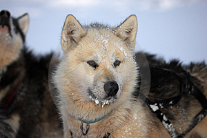 Polar-bear Hunter Sled Dog With Ice In Its Beard Stock Images - Image: 13659124