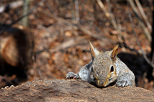 Gray Squirrel Stock Photo - Image: 13659860