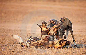 African Wild Dogs (Lycaon Pictus) Stock Images - Image: 13665504