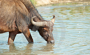Buffalo (Syncerus Caffer) In The Wild Royalty Free Stock Photos - Image: 13665718