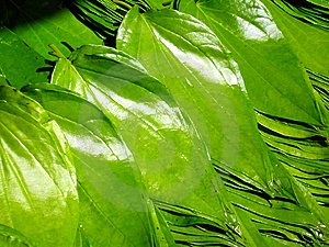 Beetle Nut Leaves Stock Photos - Image: 13667913