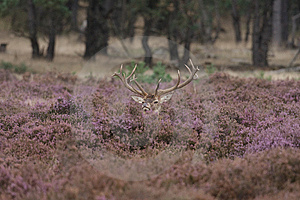 Red Deer Royalty Free Stock Images - Image: 13669839
