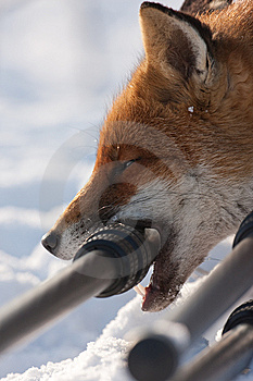 Fox In The Snow Royalty Free Stock Images - Image: 13669919