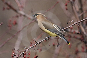 Cedar Waxwing Royalty Free Stock Photo - Image: 13671195