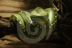 Snake Royalty Free Stock Photos - Image: 13674748