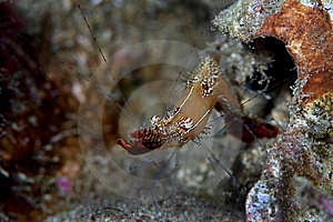 Long Nose Shrimp Royalty Free Stock Photos - Image: 13679358