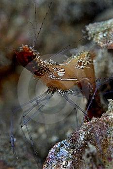 Long Nose Shrimp Royalty Free Stock Photos - Image: 13679398