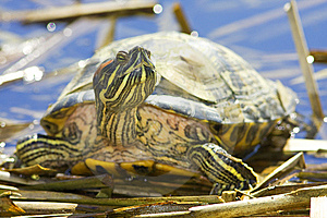 Red-eared Sliders (Trachemys Scripta Elegans) Stock Photos - Image: 13679543