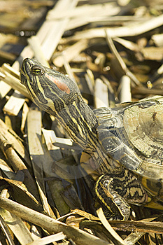 Red-eared Sliders (Trachemys Scripta Elegans) Stock Images - Image: 13679554