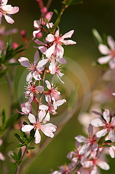 Branch Of Blossoming Almonds Royalty Free Stock Photo - Image: 13680115